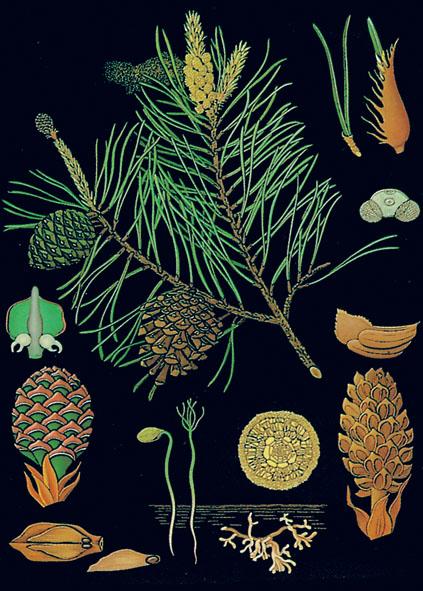 Wall chart: Pine