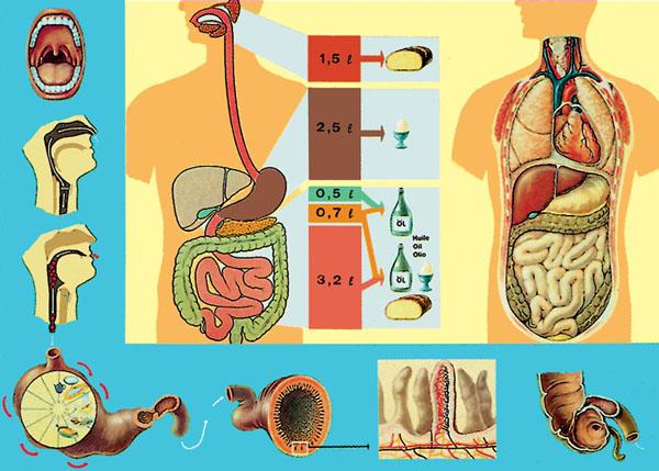 Chart: Digestive System