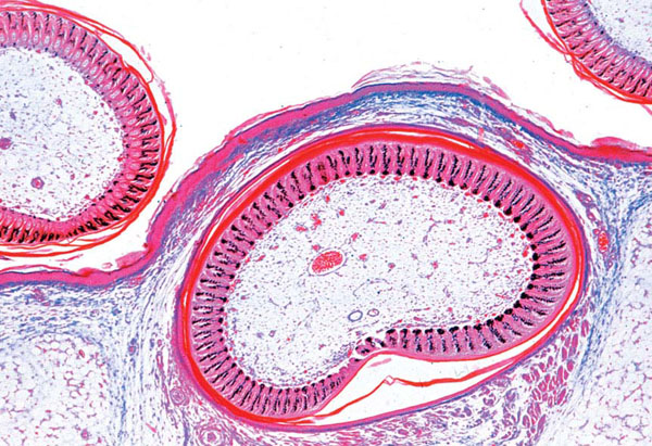 Histology of Vertebrata excluding Mammalia