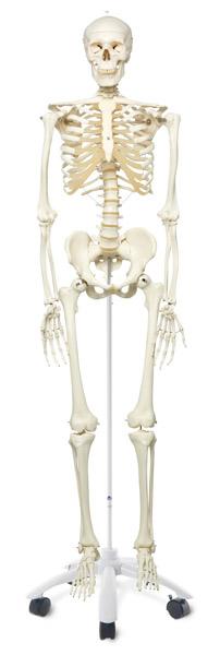 MOD: Standard skeleton