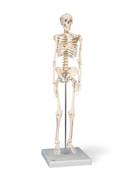 "MOD: Mini Skeleton ""Shorty"" on hanging stand"