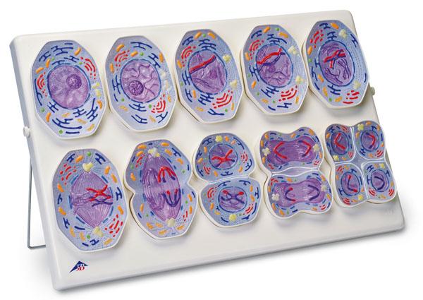 MOD: Meiosis model