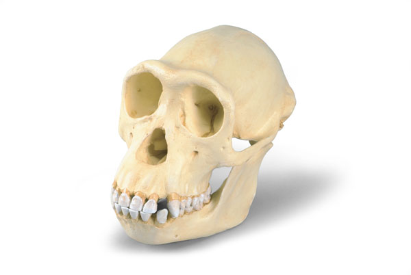 MOD: Chimpanzee Skull