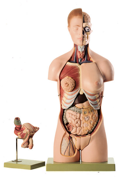 Torso with head and interchangeable male and female reproductive organs