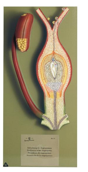 MOD: Fertilisation of the Angiosperm