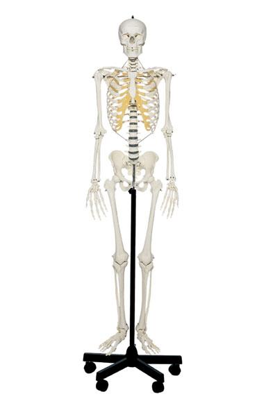 Artificial Human Skeleton