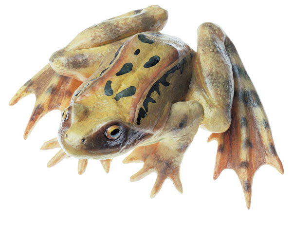 Common frog, male