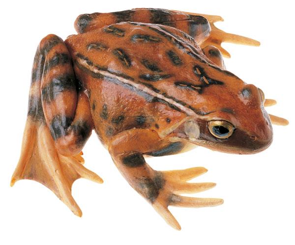 Common frog, female