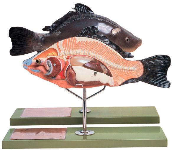 Anatomy of a bony fish
