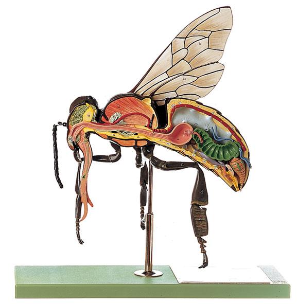 Model of the worker bee